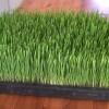 wheatgrass-youtube-d191633619da8e0497a695d0c096d92fadbea1cb