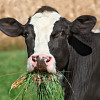 cow-eating-grass-1972a43b4366ab51dc851dc13f9a860c90135474