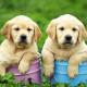 puppy_23-be82920c467031e95ac78d5c0b560d1834e01beb
