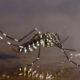 asian-tiger-mosquito1-300x194-122e3b12b40bac05476cd9043a758db89824231b